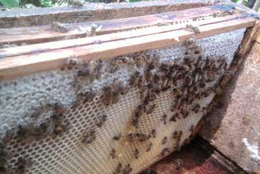 Wie entsteht Honig?
