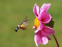Bienen und andere Bestäuber