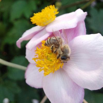 Bienen beim Pollen sammeln
