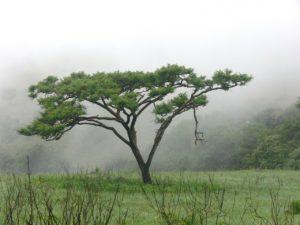 Der echte Akazienbaum aus Australien