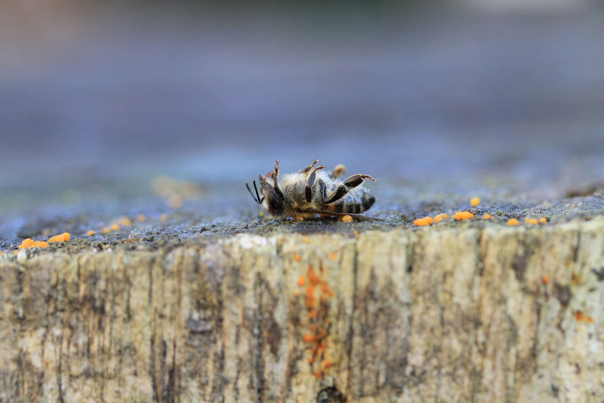 Gestorbene Biene aufgrund von Pestiziden
