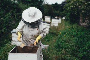 Ernte von Nektar aus Bienenwaben durch einen Imker