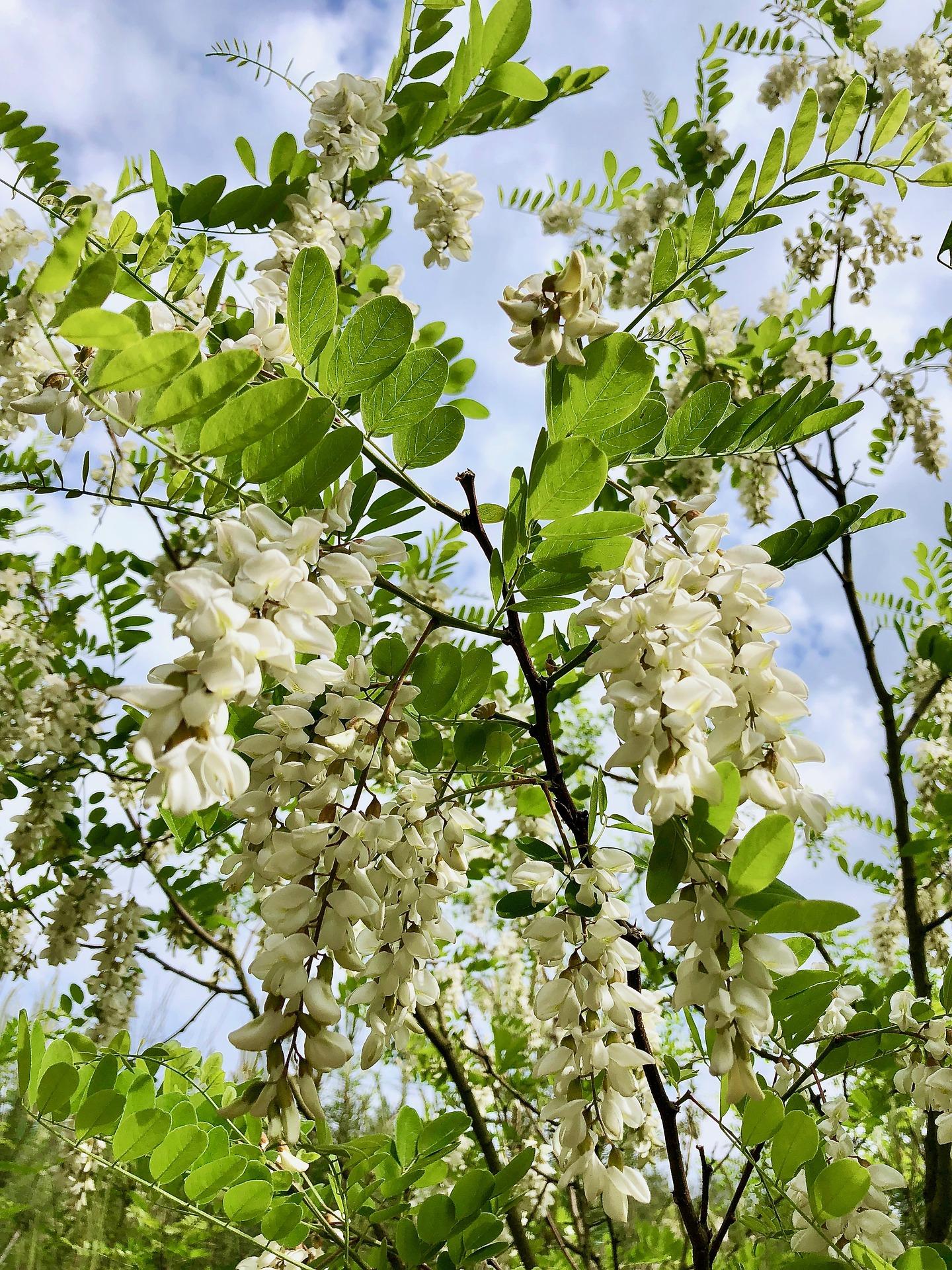 Früchte des Robinienbaums - der Nektar für Akazienhonig
